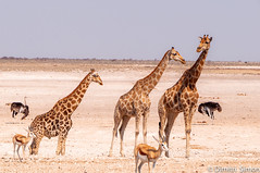 Follow me (dudi_dudewitz) Tags: giraffes animals wildlife safari africa desert etosha national park namibia wild animal springbock dry sand savanne ostrich wildlifephotography travel outdoor explore nature