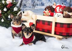 Christmas (Rainfire Photography) Tags: dogs christmas chihuahua toronto houndsofyork teamdogrescue portraits pet photography