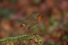 Robin (Chris*Bolton) Tags: robin robins robinredbreast bird birds perch perched perching glendalough wicklow ireland nature wildlife