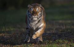 Hard on the Brakes (Jonnyfez) Tags: tschuna siberian amur tiger yorkshire wildlife park jonnyfez running stopping brake d850