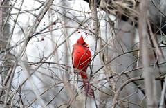 Northern Cardinal (Martin Rann Photography) Tags: americanbirds birdphotography wildlifephotgraphy canon eosm5 birds