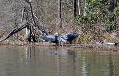 Great Blue Heron (Martin Rann Photography) Tags: americanbirds birdphotography wildlifephotgraphy canon eosm5 birds