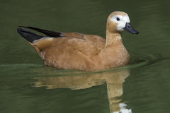 a Tadorne Duck (Franck Zumella) Tags: duck canard tadorne orange green vert lac lake eau water bird oiseau animal nature sony a7s a7 tamron 150600