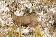 Having a good look (ChicagoBob46) Tags: muledeer deer doe yellowstone yellowstonenationalpark nature wildlife coth5 ngc naturethroughthelens npc