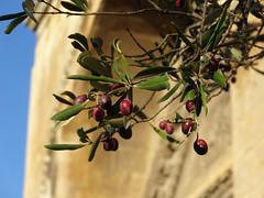 Olivier, symbole de paix (Mathieu Péborde) Tags: olive olivier paix symbole chapelle saintgabriel alpilles provence france europe méditerranéen chrétienté roman art parimoine culture violet rouge pourpre bordeaux marron maturité