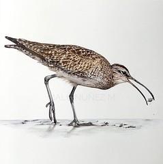 Zarapito Trinador - Numenius phaeopus (marialucian87) Tags: zarapito whimbrel numenius phaeopus aves bird birdillustration