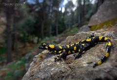 Salamandra penibética/ Penibetic fire salamander (S. salamandra longirostris) (Jacobo Quero) Tags: firesalamander salamandrapenibética amphibian anfibio urodelo wildlife alhaurín mijas nature bosque naturaleza herping salamandralongirostris