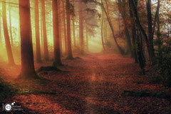 Walking the light (Robert Stienstra Photography) Tags: bos mist z50 wood woods forest fog foggy sunrise magicmoments magical nature naturalforces sunrays sunbeams path forestpath tree trees magiclight wageningen gelderland geldersestreken nikon nikonz50 mystic outdoor leaf leafs season autumn 2019 autumn2019 fall landscape landscapes landscapephotography landschappen