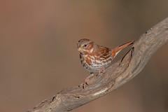 Fox Sparrow (Joe Branco) Tags: green macro photoshop ontario canada branco joe lightroom foxsparrow wildlifephotography joebrancophotography