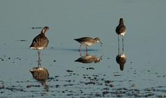 DSC05074 (garrymoors) Tags: wader reflection water godwit redshank arne dorset nature reserve