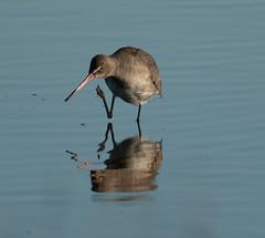 DSC04449 (garrymoors) Tags: wader reflection water godwit redshank arne dorset nature reserve