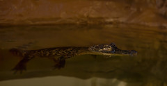 That eye! (Millie Cruz (On and Off)) Tags: shadows darkness americanalligator alligator eye reflection water zoo zooamerica hersheypa reptile animal nature canoneos5dmarkiii milliecruz ef50mmf18stm lowlight young alligatormississippiensis crocodilianreptile