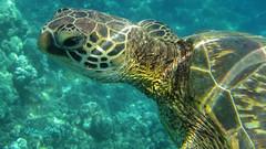 The Look (mikederrico69) Tags: oceanlife ocean scubadiving scuba exploration sealife sea turtle closeup close head underwater water animal reptile