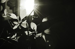 (jugularnotch) Tags: plant bw blackandwhite photography nature detail sun chiaroscuro