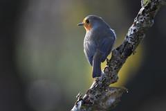 rougegorge  familier / Erithacus rubecula 19E_7341o (Bernard Fabbro) Tags: erithacus rubecula rougegorge familier oiseau bird european robin