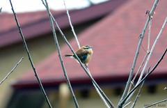 Carolina Wren (Martin Rann Photography) Tags: americanbirds birdphotography wildlifephotgraphy canon eosm5 birds