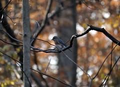 Eastern Bluebird (Martin Rann Photography) Tags: americanbirds birdphotography wildlifephotgraphy canon eosm5 birds