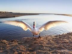 South Beach Swan2 (g crawford) Tags: swan bird ardrossan ayrshire northayrshire southbeach ardrossansouthbeach shore sea clyde panasonic lumix tz60 firthofclyde saltcoats crawford