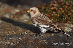 Snow Bunting (Plectrophenax nivalis) (gcampbellphoto) Tags: snow bunting migration migrant bird winter north antrim ballycastle northern ireland gcampbellphotocouk plectrophenax nivalis animal outdoor