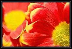 """Rediculous...!!!"" -- MACRO MONDAYS - 02.12.19 - ""RED"" (NikonShutterBug1) Tags: macro closeup nikond7200 tamron60mm macromondays spe smartphotoeditor red flowers petals nature"
