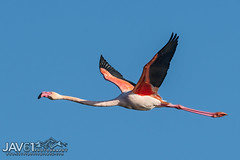 Greater flamingo (Phoenicopterus roseus)-7773 (George Vittman) Tags: birds nature wildlife bouchesdurhône france flamingo flight nikonpassion wildlifephotography jav61photography jav61 fantasticnature