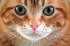 Those beautiful eyes - Esos preciosos ojos (En memoria de Zarpazos, mi valiente y mimoso tigre) Tags: cat kitten face eyes bigeyes greeneyes pinknose portraitcat spritz gato chat gatto mycat miradafelina ♥ miciorosso spritzeddu closeup