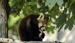 Panda.....der Feinschmecker (Fritz Zachow) Tags: panda hamburg hagenbeck tierpark