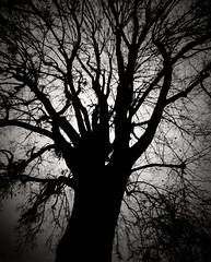 Electric Tree (Fab Photographe) Tags: ondu pinhole 4x5 ilfordfp4plus tree bnw monochrome longexposure sténopée largeformat