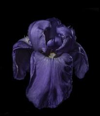 Purple Iris Shapes And Textures (Bill Gracey 25 Million Views) Tags: offcameraflash homestudio blackbackground purple color yongnuo yongnuorf603n lastoliteezbox softbox roguegrid sidelighting shapes shadows fleur flower flor lakeside floralphotography macrolens