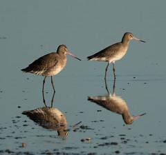 DSC05108 (garrymoors) Tags: wader reflection water godwit redshank arne dorset nature reserve