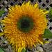 'Starburst Panache' Sunflower