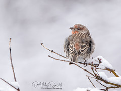 House Finch (Bill McDonald 2016) Tags: housefinch naturephotography wildlife nature finch male avian winter december 2019 perched cold perching billmcdonald grenfell ontario canada
