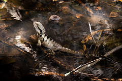 Warm Morning Mountain Stream (armct) Tags: intellagamalesueurii waterdragon lizard reptile mountain stream brook creek bunya suptropical rainforest queensland hinterland forest warm weather water immersion large camouflage markings pattern