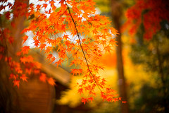 In a Cold Front (moaan) Tags: kobe hyogo japan maple mapleleaves momiji japanesemaple glow tinted red autumn fall autumncolors fallcolors autumnleaves focusonforeground selectivefocus bokeh bokehphotography dof leica leicamp type240 noctilux 50mm f10 leicanoctilux50mmf10 utata 2019