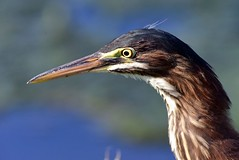 Green Heron (laurie.mccarty) Tags: bird bokeh portrait heron greenheron outdoor nature naturephotography wildlife