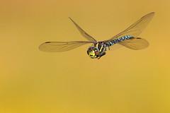 Aeschne des joncs (laurent.rouschmeyer) Tags: nature faune insecte insect dragonfly vol vosges couleur colour joncs aeschne aeshna juncea tourbière france macro macrophoto proxy fond lumière flight rouschmeyer light art