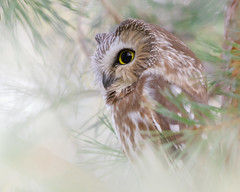 Saw-Whet Owl (ayres_leigh) Tags: owl bird sawwhet durham ontario canon winter forest raptor nature wildlife