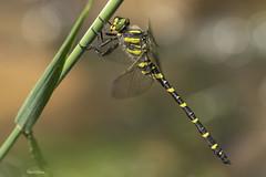 Cordulegaster boltonii (Donovan, 1807) (Pipa Terrer) Tags: cordulegasterboltonii larioja balsasderiego anisoptera odonata insecta invertebrados insectos libélula