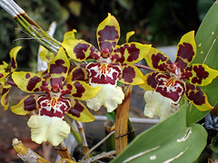 beautiful orchids (BarryFackler) Tags: outdoor nature colorful orchids flowers flora petals leaves blooms blossoms plants vegetation horticulture gardening botany life captaincookhawaii biology horticultural botanical ornamentalplant captaincookhi macro southkona hawaiicounty hawaiianislands bigisland hawaii hawaiiisland sandwichislands island westhawaii ecology tropical polynesia floral beauty barryfackler barronfackler 2019 garden yard