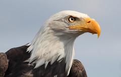 Yaffa (grachester) Tags: weiskopfseeadler vogeladler adler porträteagle portraiteaglebaldeagle haliaeetusleucocephalus animals tiere