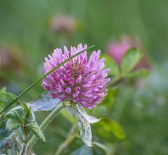 Rabbit Snack. (Omygodtom) Tags: wildflower clover pink green frost oregon outside nikon70300mmvrlens d7100 flickriver flora flower usgs macro