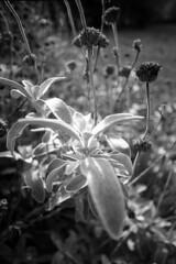 October - Florence - October 2019 (cava961) Tags: autumn october garden analogue analogico monocromo monochrome bianconero bw canon fp4