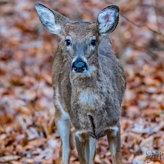 2019.12.02.8692 Deer (Brunswick Forge) Tags: 2019 virginia grouped nikond500 nikkor200500mm nature wildlife deer doe day cloudy autumn botetourtcounty tree trees woods forest nikonflickraward outdoor outdoors 14xteleconverter