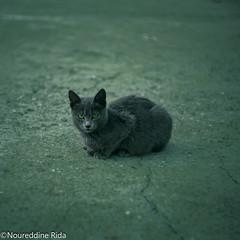 Green Lantern (nrd.rida) Tags: cat cats animals animal outdoor algeria jijel canon helios pets grass kitten themes feline