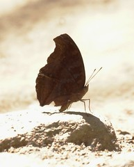 ??? (nikolayloginov) Tags: butterfly thailand бабочка таиланд
