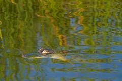 SouthPadreIsland_281 (allen ramlow) Tags: south padre island birding nature center birds sony alpha