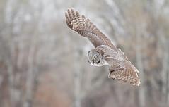 Great Gray Owl (eBird.org) Tags: ebird macaulay library birds flickr flight owls amazing bird photos