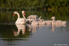 Cigno _021 (Rolando CRINITI) Tags: cigno cignonero uccelli uccello birds ornitologia avifauna mincio curtatone natura