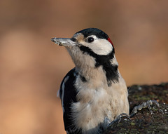 Great Spotted Woodpecker (wryneck94) Tags: newforest dennywood hampshire birdwatching