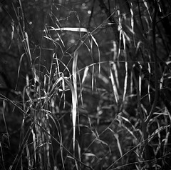 Leave of Grass (gregmaslak) Tags: parks outside mamiya ilford film bw delta100 leaves